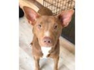 Adopt Makhi a Brown/Chocolate - with White Basenji / Labrador Retriever / Mixed