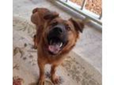 Adopt Santo (Fostered in TN) a Chow Chow, Border Collie