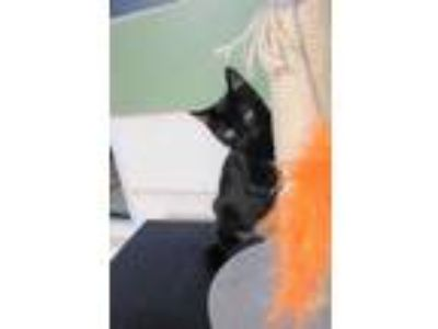 Adopt Woody a All Black Domestic Shorthair / Mixed cat in Land O'Lakes