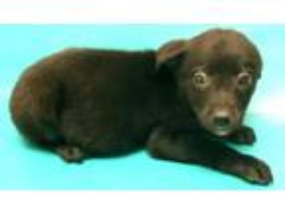 Adopt Geraldine a Labrador Retriever, Australian Cattle Dog / Blue Heeler