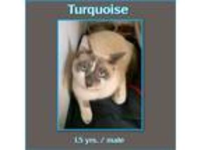 Adopt Turquoise a Cream or Ivory (Mostly) Siamese (short coat) cat in Richmond