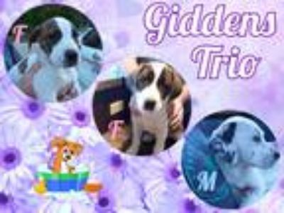 Adopt Giddens Trio a Brindle - with White Hound (Unknown Type) / Mixed dog in