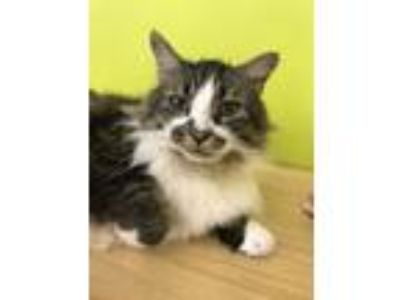 Adopt Scotty a Maine Coon