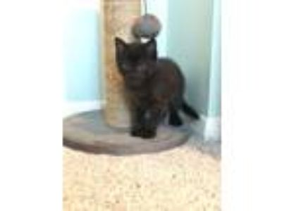Adopt Spring Kitten: Clover a Domestic Short Hair
