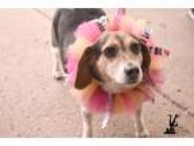 Adopt Val a Tricolor (Tan/Brown & Black & White) Mixed Breed (Small) / Beagle /