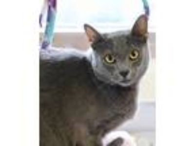 Adopt Brody a Domestic Shorthair / Mixed cat in Silverdale, WA (25311219)