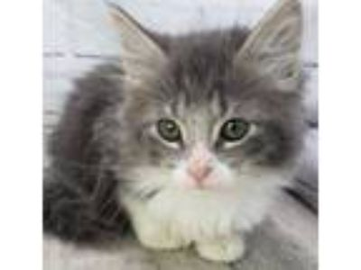 Adopt 41825368 a Gray or Blue Domestic Shorthair / Domestic Shorthair / Mixed