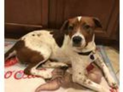 Adopt Luna a White - with Brown or Chocolate Pointer dog in Georgetown