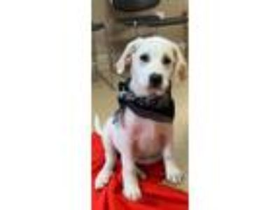 Adopt Honey a White - with Red, Golden, Orange or Chestnut Great Pyrenees /