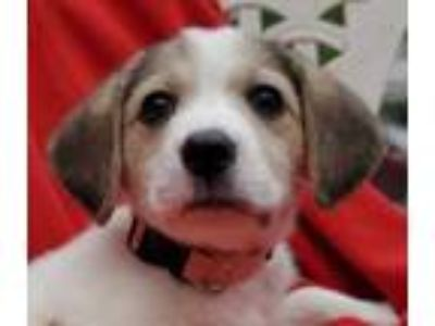 Adopt Myrtle a White Labrador Retriever / Beagle / Mixed dog in New Albany