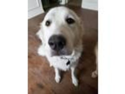 Adopt Donald a White Great Pyrenees / Mixed dog in Statewide, TX (23006687)