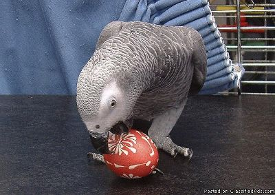 Playful African Grey Parrots