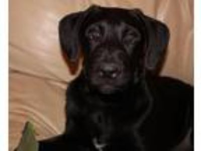"Adopt Alaska "" Lab Mix Puppy Docked Tail "" a Labrador Retriever"