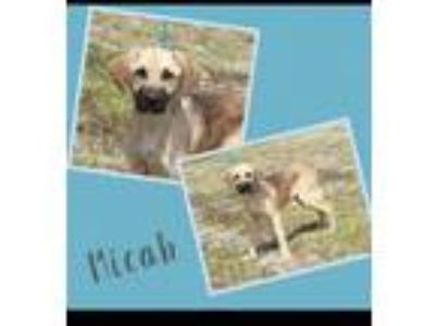 Adopt MICAH a German Shepherd Dog, Black Mouth Cur