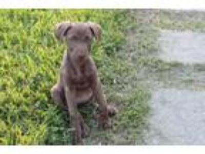 Adopt Oakley a Brown/Chocolate Weimaraner / Hound (Unknown Type) / Mixed dog in
