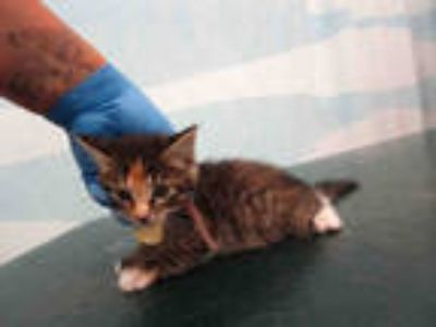 Adopt ONYNX a Calico or Dilute Calico Domestic Shorthair / Mixed (short coat)