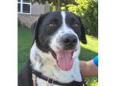 Adopt Vincent a Border Collie, Labrador Retriever
