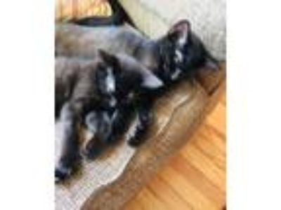 Adopt Salem a Black & White or Tuxedo Domestic Mediumhair / Mixed cat in