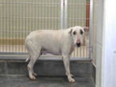Adopt REBEL a White - with Black Bull Terrier / Mixed dog in Upland