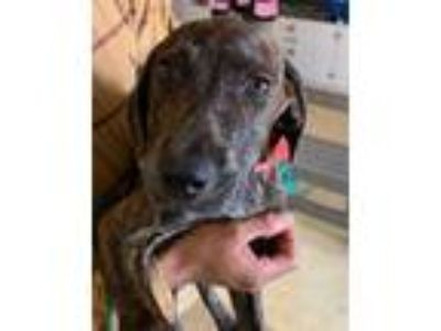 Adopt Lana a Black Retriever (Unknown Type) / Pointer / Mixed dog in Lihue
