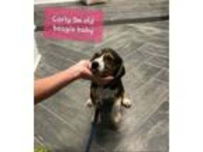 Adopt Pups of Bellas Haven a Retriever, Beagle