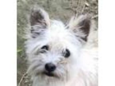 Adopt Suri a Yorkshire Terrier, Wirehaired Terrier