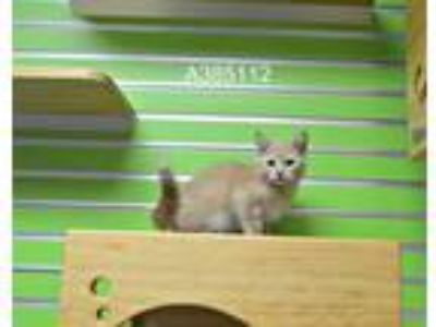 Adopt a Cream or Ivory Domestic Shorthair / Mixed (short coat) cat in St.