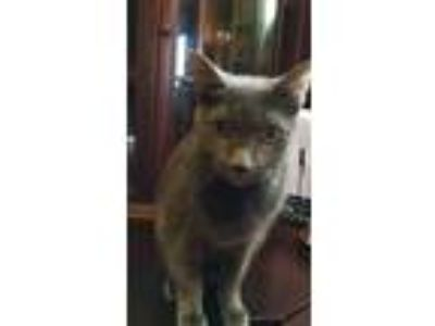 Adopt Sydney a Gray or Blue Russian Blue cat in Richmond, VA (25003599)