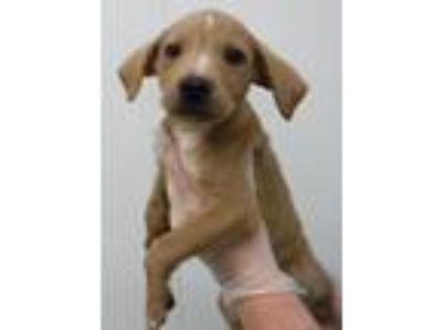 Adopt Walter a Labrador Retriever, Hound