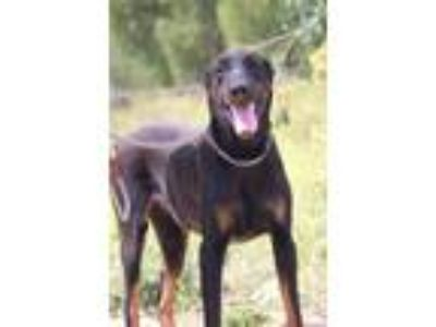 Adopt Czar a Black - with Tan, Yellow or Fawn Doberman Pinscher / Mixed dog in
