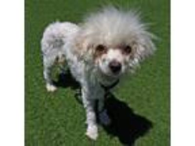 Adopt Rosie a Poodle