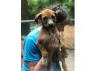 Adopt Stevie Barnwell RM a Brown/Chocolate - with White Shepherd (Unknown Type)