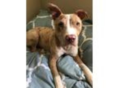 Adopt Theo a Merle Catahoula Leopard Dog / Mixed dog in Memphis, TN (22362347)