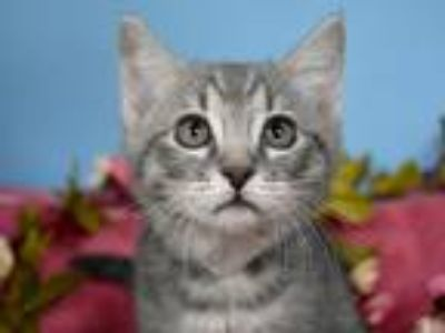 Adopt Natassia a Domestic Shorthair / Mixed cat in Portland, OR (25479321)