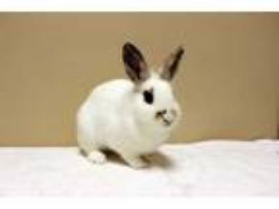 Adopt Lucy a White English Spot / Mixed rabbit in Fountain Valley, CA (24930647)