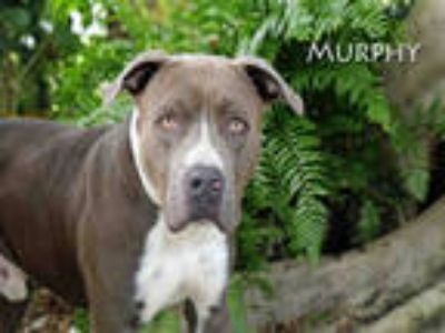 Adopt MURPHY a Gray/Silver/Salt & Pepper - with White American Pit Bull Terrier