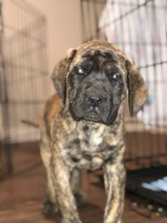 Mastiff PUPPY FOR SALE ADN-112925 - English Mastiff AKC