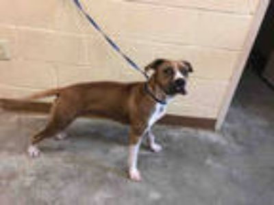 Adopt HAPPY a Brown/Chocolate Boxer / Mixed dog in Texas City, TX (25805872)