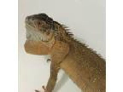 Adopt Crimson a Iguana reptile, amphibian, and/or fish in St.