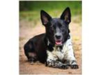 Adopt Tori a Black - with White Border Collie / Blue Heeler / Mixed dog in