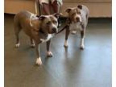 Adopt ~URGENT~ Tank and Porky a Pit Bull Terrier