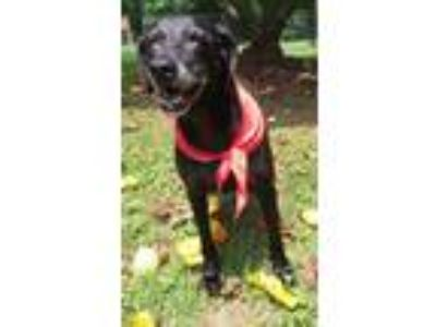 Adopt Lilly a Black Labrador Retriever / Mixed dog in Temple, GA (22722129)