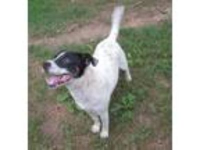 Adopt Cash a White - with Black Labrador Retriever / Australian Cattle Dog /