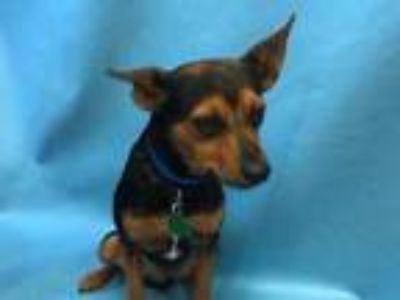 Adopt Sir Jamie a Tan/Yellow/Fawn Miniature Pinscher / Mixed dog in Woodbury