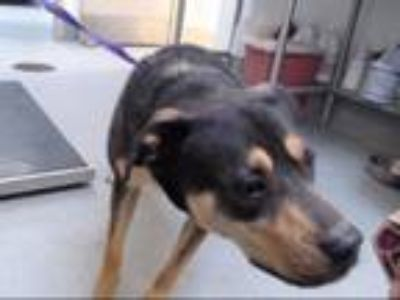 Adopt BUSTER a Rottweiler, Mixed Breed
