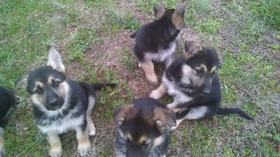 German Shepherd Dog PUPPY FOR SALE ADN-70610 - ACK Registered Black N Tan GSD