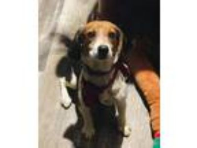 Adopt Carmen a Beagle / Mixed dog in St. Francisville, LA (24756956)