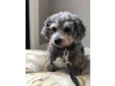 Adopt Miss Bliss a Gray/Blue/Silver/Salt & Pepper Poodle (Miniature) / Mixed dog