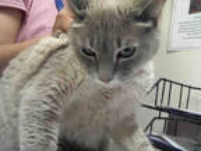 Adopt KIDA a Gray or Blue (Mostly) Siamese / Mixed (short coat) cat in Phoenix