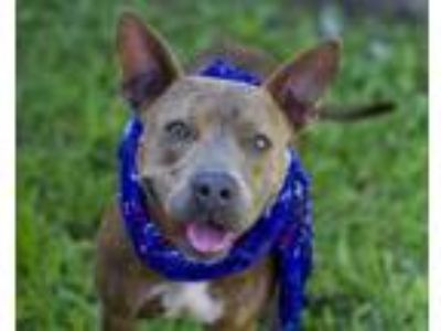 Adopt SATELLITE a Pit Bull Terrier, Mixed Breed